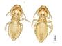 28877 Eutrichophilus emersoni PT d IN