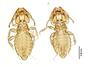 28877 Eutrichophilus emersoni PT v IN