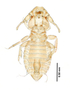 28878 Eutrichophilus emersoni HT d IN