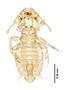 28878 Eutrichophilus emersoni HT v IN