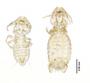 28871 Eutrichophilus minor PLT d IN