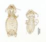 28871 Eutrichophilus minor PLT v IN
