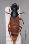 2818940 Xenopygus confusus HT d IN