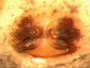 Spirembolus pusillus female epigynum