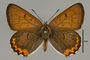 124063 Lycaena hyllus male d IN