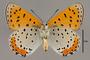 124063 Lycaena hyllus male v IN