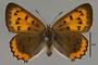 124064 Lycaena hyllus female d IN
