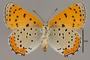 124064 Lycaena hyllus female v IN