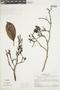 Couratari fagifolia (Miq. ex O. Berg) Eyma, BRAZIL, F