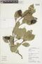 Couratari multiflora Eyma, GUYANA, F