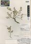 Euphorbia multiformis image