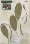 Tetrorchidium rotundatum Standl., HONDURAS, P. C. Standley 52892, Holotype, F