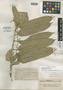Omphalea bracteata (Blanco) Merr., Philippines, E. D. Merrill 1061, Isoneotype, F