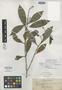Calophyllum mindanaense Elmer, PHILIPPINES, A. D. E. Elmer 10597a, Isolectotype, F