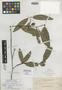 Calophyllum lancifolium Elmer, PHILIPPINES, A. D. E. Elmer 13266, Isolectotype, F