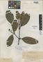 Calophyllum hibbardii Elmer, PHILIPPINES, A. D. E. Elmer 98837, Isotype, F