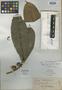 Calophyllum flavo-corticum Elmer, PHILIPPINES, A. D. E. Elmer 14311, Isotype, F