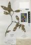Calophyllum zschokkei Elmer, PHILIPPINES, A. D. E. Elmer 12129, Isolectotype, F