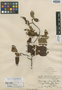 Saurauia clementis Merr., PHILIPPINES, M. S. Clemens 57, Isotype, F