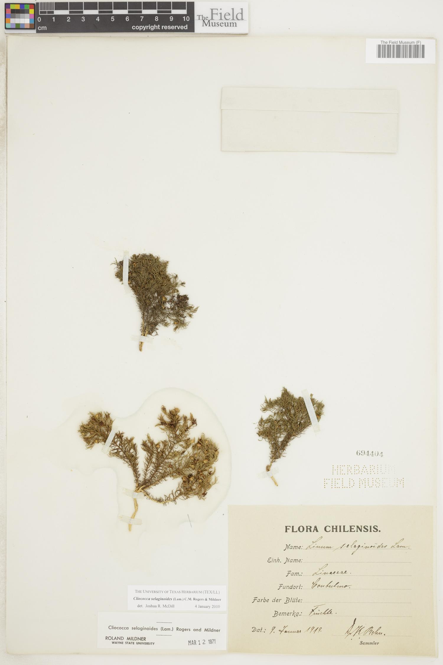 Cliococca image