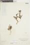 Cliococca selaginoides image