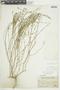 Linum oligophyllum image