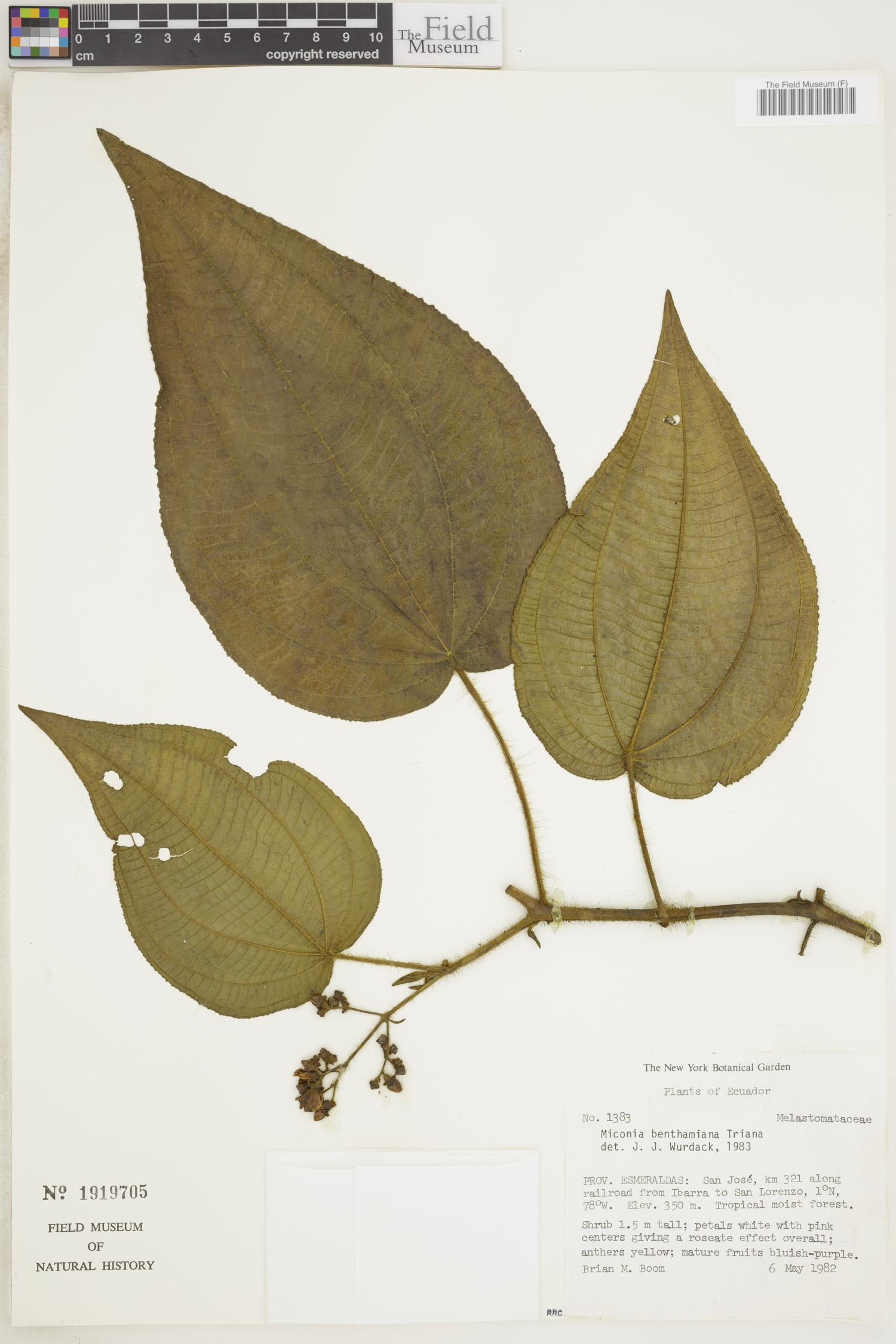 Miconia benthamiana image