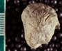 IMLS Silurian Reef Digitization Project, Image of a Silurian  trilobite, specimen PE 61558
