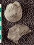 IMLS Silurian Reef Digitization Project, Image of a Silurian  trilobite, specimen UC 24313