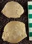 IMLS Silurian Reef Digitization Project, Image of a Silurian  trilobite, specimen UC 3364