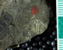IMLS Silurian Reef Digitization Project, Image of a Silurian  trilobite, specimen UC 5545