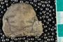IMLS Silurian Reef Digitization Project, Image of Silurian  trilobite, specimen UC 450