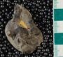 IMLS Silurian Reef Digitization Project, Image of Silurian  trilobite, specimen UC 24206