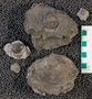 IMLS Silurian Reef Digitization Project, Image of Silurian  trilobite, specimen UC 24310