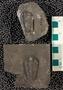 IMLS Silurian Reef Digitization Project, Image of Silurian  trilobite, specimen UC 24889