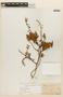 Mimosa australis Izag. & Beyhaut, URUGUAY, F