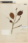 Roupala monosperma  (Ruíz & Pav.) I. M. Johnst. var. monosperma, BOLIVIA, F