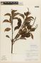 Roupala montana Aubl. var. montana, BRITISH GUIANA [Guyana], F