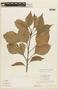 Roupala montana Aubl. var. montana, SURINAME, F