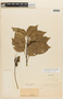 Roupala montana Aubl. var. montana, FRENCH GUIANA, F