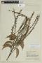Roupala montana Aubl. var. montana, VENEZUELA, F