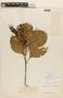 Roupala montana Aubl. var. montana, F