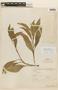 Roupala montana Aubl. var. montana, BOLIVIA, F