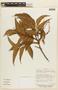 Roupala montana var. brasiliensis (Klotzsch) K. S. Edwards, BOLIVIA, F