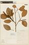 Roupala montana var. brasiliensis (Klotzsch) K. S. Edwards, BRAZIL, F