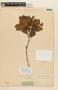 Roupala montana var. paraensis (Huber) K. S. Edwards, F