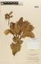Roupala pseudocordata Pittier var. pseudocordata, VENEZUELA, F