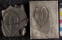 IMLS Silurian Reef Digitization Project, Image of a Silurian trilobite, specimen UC 15055