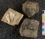 IMLS Silurian Reef Digitization Project, Image of a Silurian trilobite, specimen UC 24302
