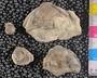 IMLS Silurian Reef Digitization Project, Image of a Silurian trilobite, specimen UC 36409
